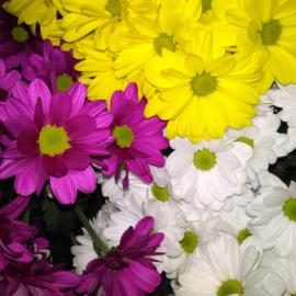 Chrysanthemen
